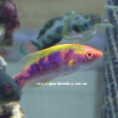 Lubock Fairy Wrasse Fish