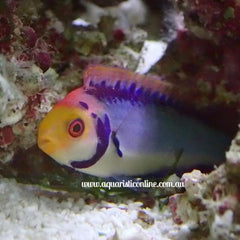 Red Eye Fairy Wrasse Fish