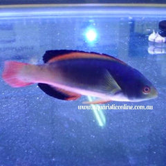 Scots Fairy Wrasse Fish