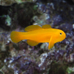 - Yellow Clown Goby