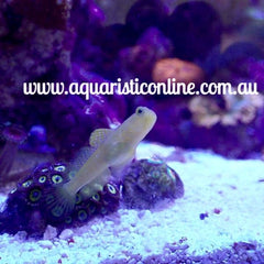 - Yellow Watchman Goby & Pistol Shrimp Pair
