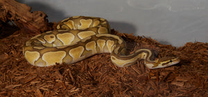 Ball Python Care Guide: Habitat, Substrates, Feeding, Sanitation - The Critter Depot