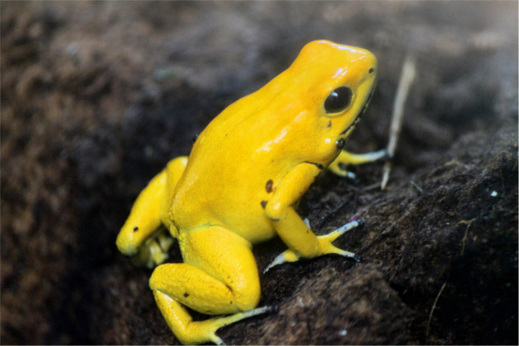 Poison Dart Frog Care Guide - The Critter Depot