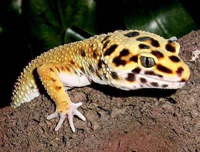 The Ultimate Leopard Gecko Habitat - The Critter Depot