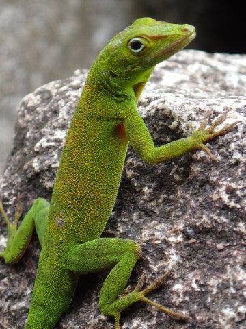 Anole Care Guide - The Critter Depot