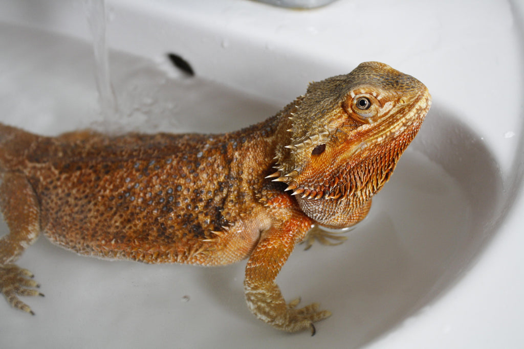Bearded Dragon Cost - The Critter Depot