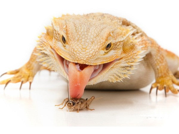 Best Hornworms for Bearded Dragons - Crickets and Worms ...