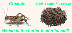 Black Soldier Fly Larvae vs Crickets