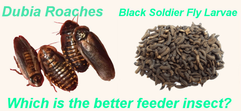 Dubia Roaches vs Black Soldier Fly Larvae - Which is the Better Feeder?
