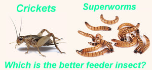 Crickets vs Superworms - Which is the Best Feeder Insect?