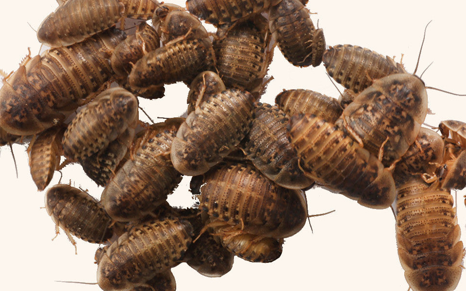 Dubia Roach Allergies: Causes and Solutions
