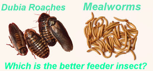 Dubia Roaches vs Mealworms - Which is the Better Feeder Insect?