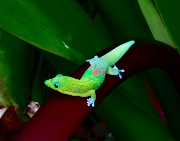 Gold Dust Day Gecko Care Guide