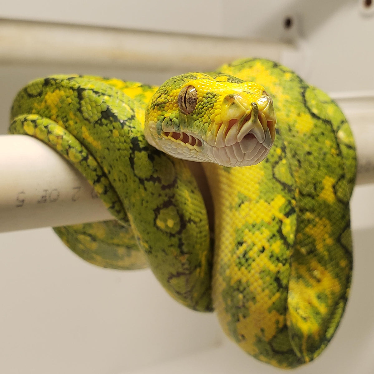 b7a9c47c14fddb Green Tree Python Care Guide – The Critter Depot