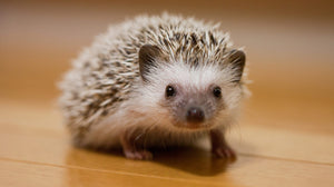 Hedgehog Care Guide - The Critter Depot