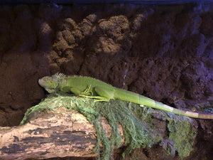 Green Iguana Care Guide - The Critter Depot