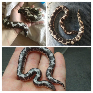 Kenyan Sand Boa Care Guide - The Critter Depot