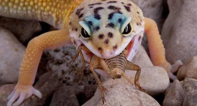 Cricket Feeding for Leopard Geckos