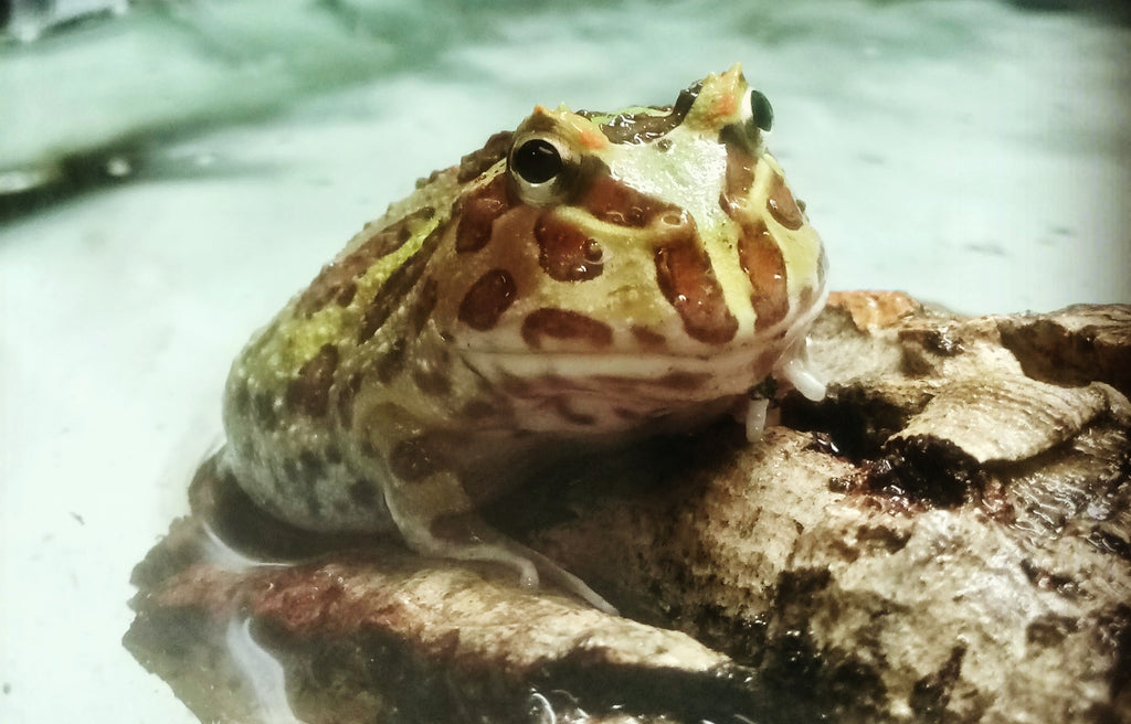 Pacman Frog Care Guide - The Critter Depot