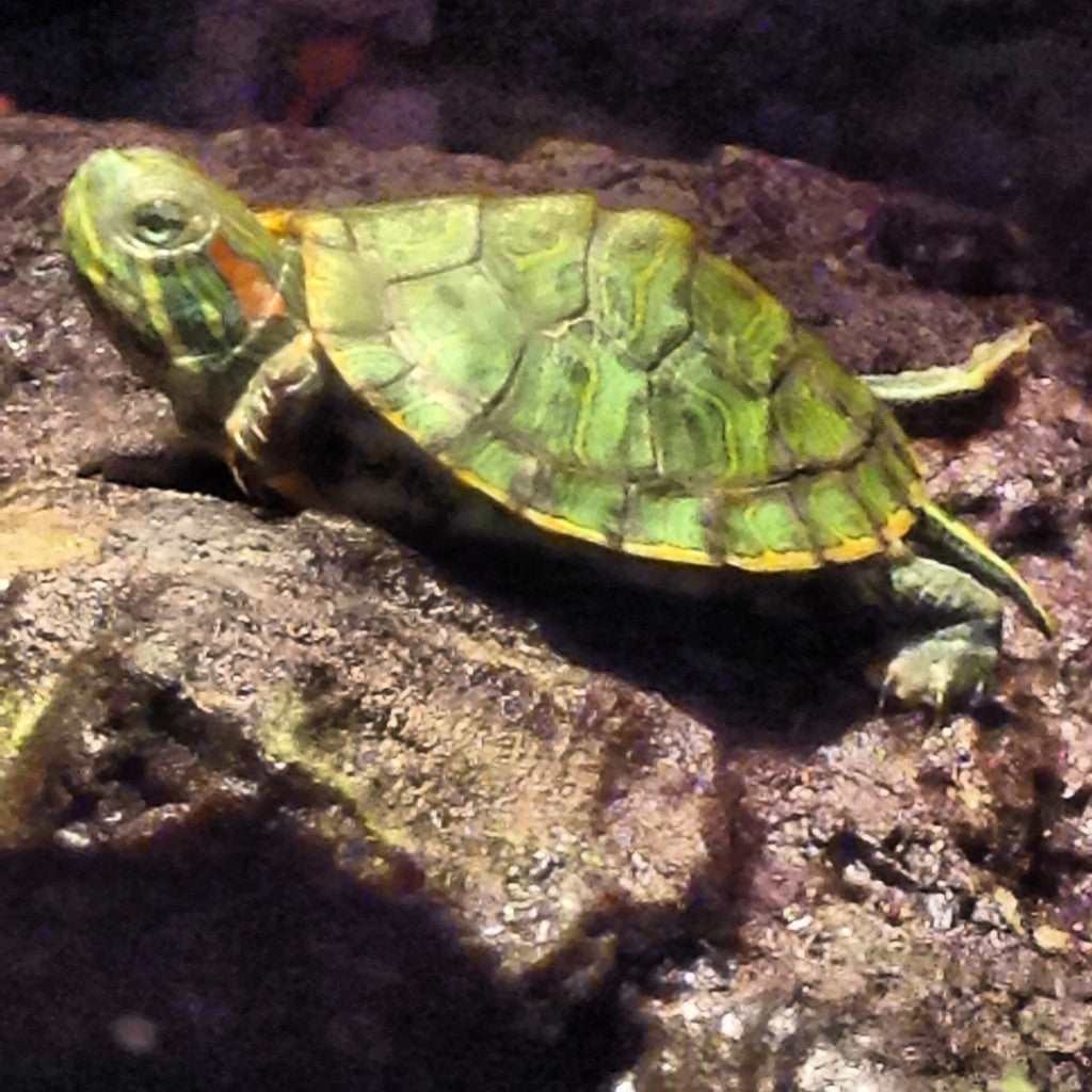 Red-Eared Slider Care Guide - The Critter Depot