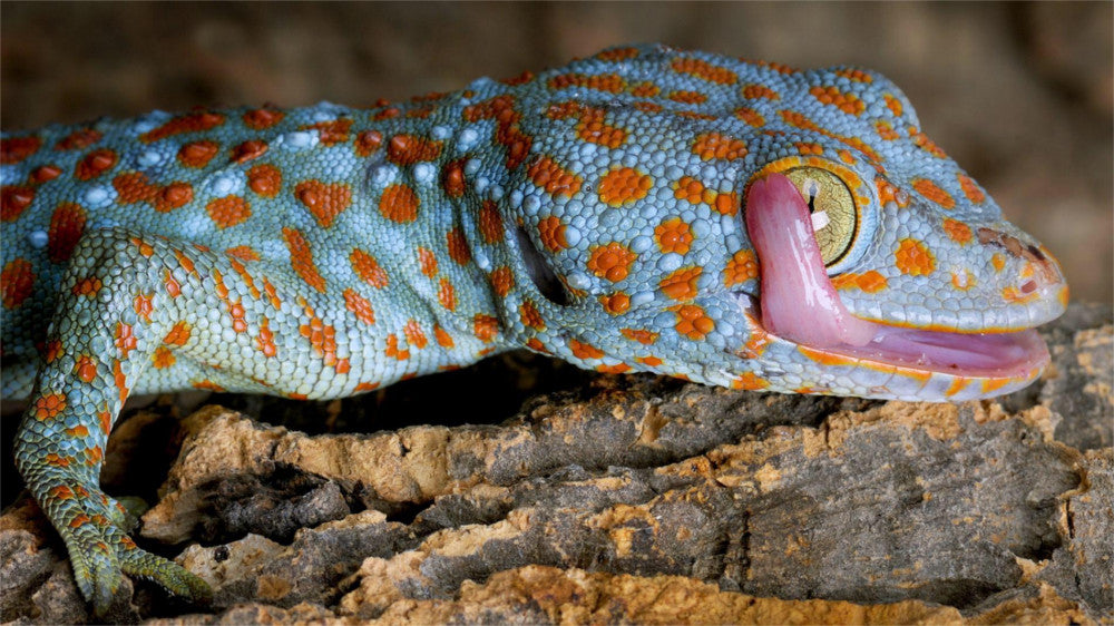Tokay Gecko Care Guide - The Critter Depot