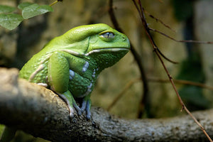 Waxy Monkey Frog Care Guide