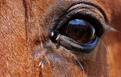 horse with fly in eye