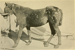 horses with ringworm