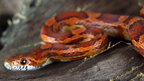 corn snake habitat and care guide
