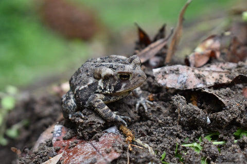 american toad care guide
