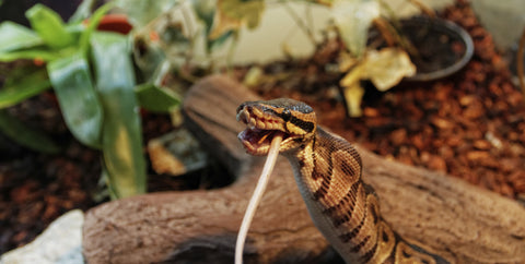 ball python care guide and substrate