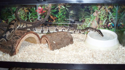 ball python substrate aspen shavings