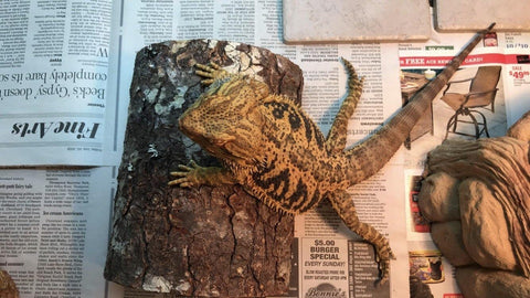 bearded dragon newspaper substrate