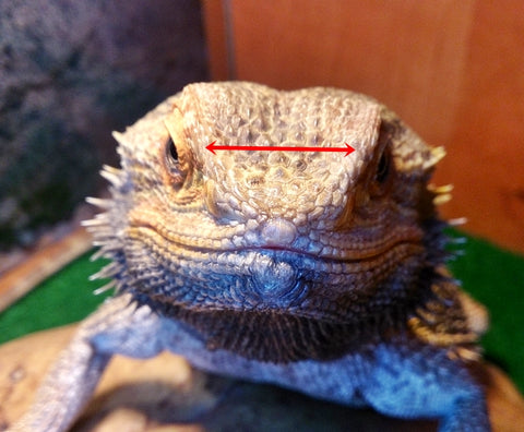 space between eyes for bearded dragon