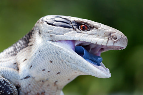 blue tongue skink care