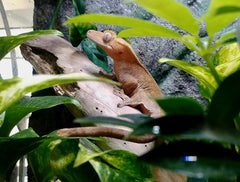 how many crickets for a crested gecko