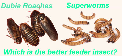 superworms or dubia roaches