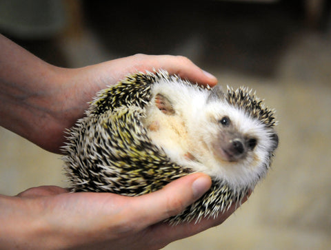 hedgehog rolls up in a ball