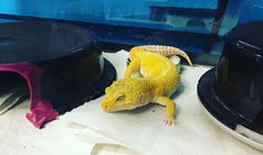 what to feed leopard geckos