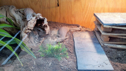 lizard monitor substrate