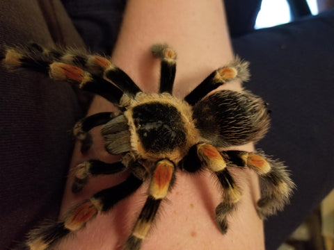 tarantula care guide
