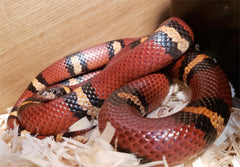 milk snake coloration