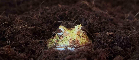 pacman frog substrate