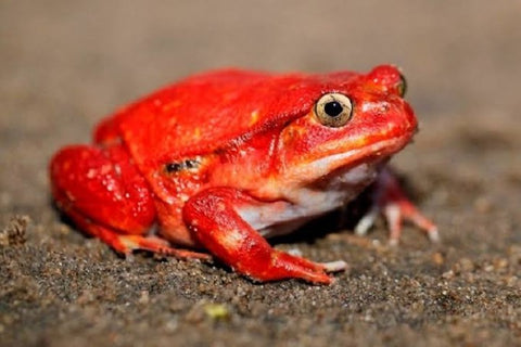what to feed a tomato frog