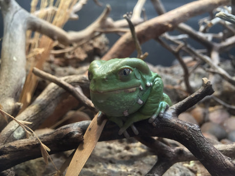 waxy monkey tree frog care guide