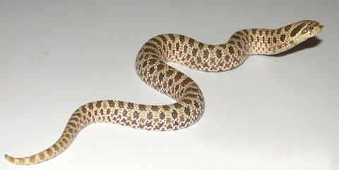 western hognose snake care