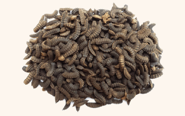 Black soldier fly larva for sale