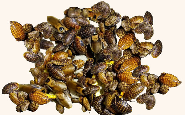 Discoid Roaches for Sale - Free Shipping
