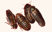 Colony Starters - Dubia Roaches for Sale - Free Shipping
