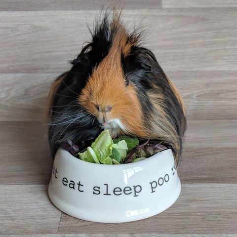 guinea pig bowl - pet bowl - guinea pig dish - eat sleep poo repeat